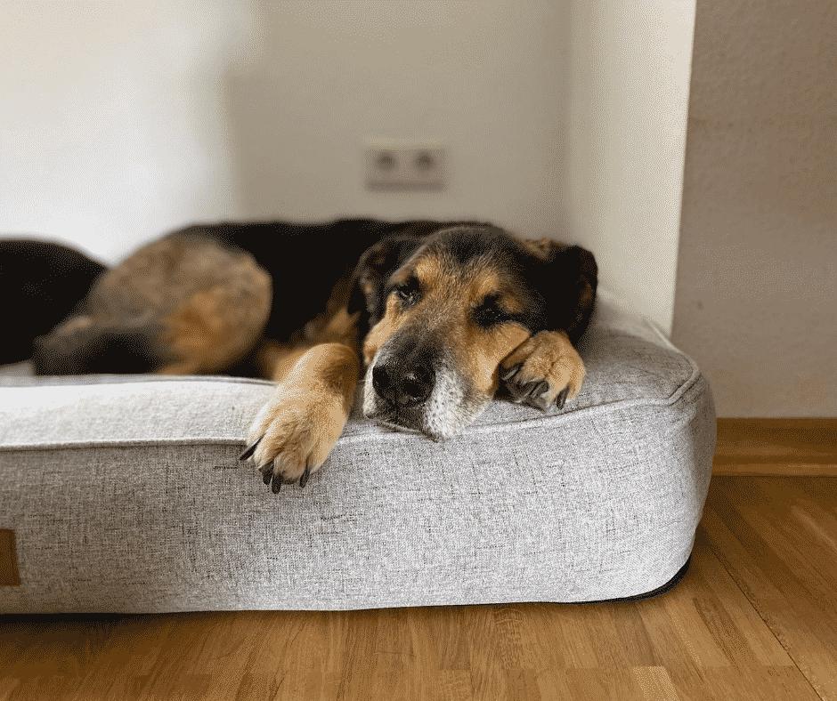 Milo liegt im orthopädischen Hundebett